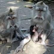Balinese Monkey Family Poster