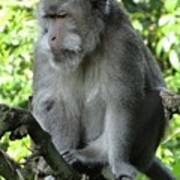 Balinese Monkey In Tree Poster