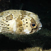 Balloonfish Profile Puffer Fish, Diodon Poster