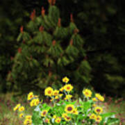Balsamroot And Evergreen Poster