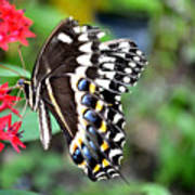 Baltimore Checker Spot Butterfly Poster
