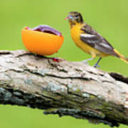 Baltimore Oriole Having Breakfast This Morning Poster