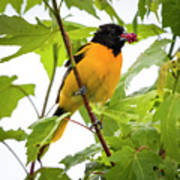 Baltimore Oriole With Raspberry  Poster