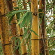 Bamboos Poster