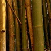 Bambusa Vulgaris Poster