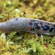 Banana Slug Closeup In Moss Poster