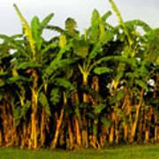 Banana Trees Poster
