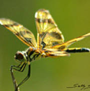 Banded Pennant, female Poster