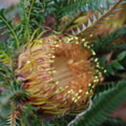 Banksia Nivea - 2 Poster