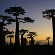 Baobab Forest At Sunset Poster