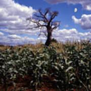 Baobaba Tree Poster