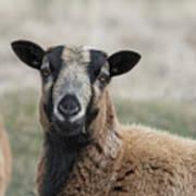 Barbados Blackbelly Sheep Portrait Poster
