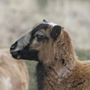 Barbados Blackbelly Sheep Profile Poster