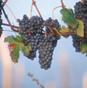 Barbera Grapes Ready For Harvest South Poster