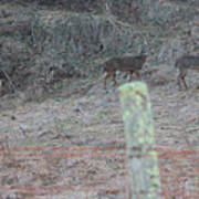 Barbwire And Whitetails Poster