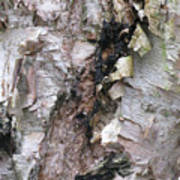 Bark Of The Birch Poster