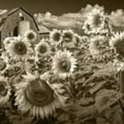 Barn And Sunflowers In Sepia Tone Poster