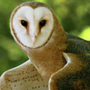 Barn Owl-6553 Poster