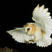 Barn Owl Poster by Andy Harmer and SPL and Photo Researchers