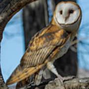 Barn Owl Framed In Cottonwood Poster