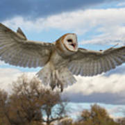 Barn Owl Makes A Happy Landing Poster