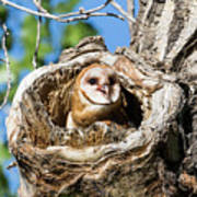 Barn Owl Owlet Says Hello To The World Poster