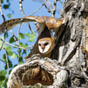 Barn Owl Owlet Stretches High Poster