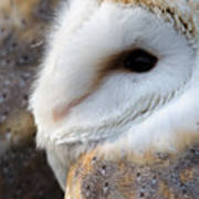 Barn Owl Portrait Poster
