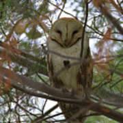 Barn Owl Sleeping Poster