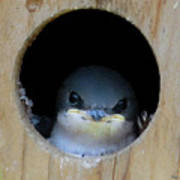 Barn Swallow Chick Poster by DigiArt Diaries by Vicky B Fuller