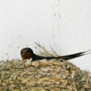 Barn Swallow Nesting Poster by Douglas Barnett
