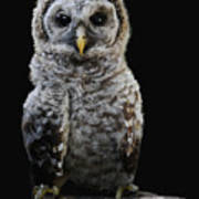 Barred Owl Baby -4 Poster