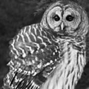 Barred Owl Beauty Poster