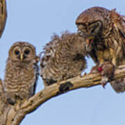 Barred Owl Family Poster