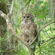Barred Owl I Poster