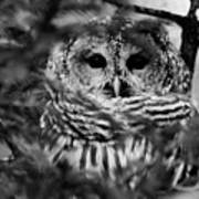 Barred Owl In Black And White Poster