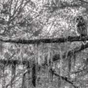 Barred Owl In Monochrome Poster