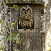 Barred Owl In Nest Box Poster