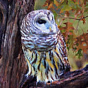 Barred Owl In The Rain Oil Painting Poster