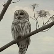 Barred Owl On A Tree Poster