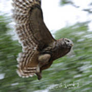 Barred Owl Taking Flight Poster