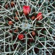 Barrel Cactus With Pink Blooms Poster