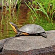 Basking Blanding's Turtle Poster