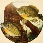 Basking Bluegills Poster by Bruce Bley