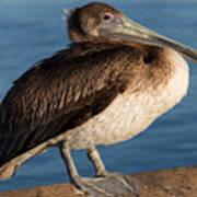 Basking Pelican Poster