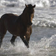 Bay Andalusian Stallion In The Surf Poster