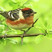 Bay-breasted Warbler Poster