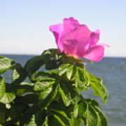 Beach Rose Poster