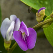 Beaked Butterfly Pea 9 Poster