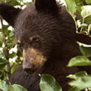 Bear Cub In Apple Tree2 Poster